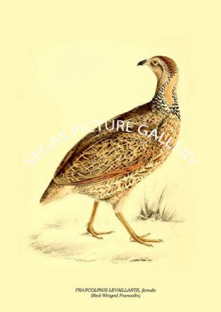FRANCOLINUS LEVAILLANTII, female - Red-Winged Francolin